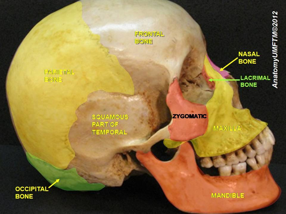 Lacrimal bone - Howling Pixel