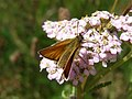 Small skipper feeding.JPG
