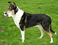 This Smooth Collie retrieves an obedience dumbbell made of wood; others are made of metal or plastic.