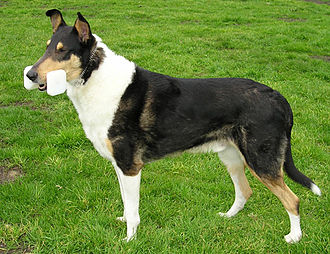 Obedience training - This Smooth Collie retrieves an obedience dumbbell made of wood; others are made of metal.