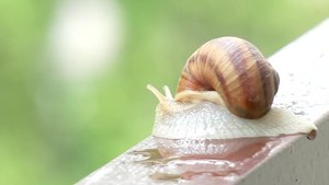 File:Snail Melc melc codobelc.ogv