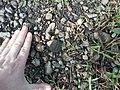 Snapping turtle hatchling Miller Woods.jpg