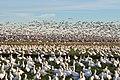 Snow geese - Fir Island - 10.jpg