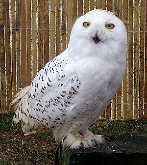 Symbols of Quebec - Snowy owl