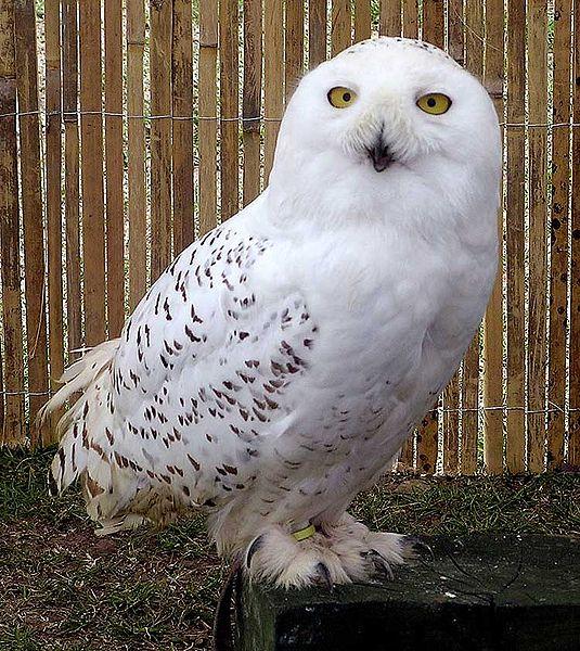 Ficheiro:Snowy.owl.overall.arp.750pix.jpg