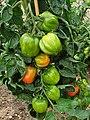 Solanales - Solanum lycopersicum - 42.jpg