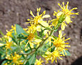 Solidago macrophylla 6.jpg