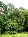 Sorbus cordigastensis 220816a.jpg