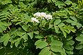 Sorbus matsumurana 02.jpg