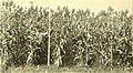 Sorghums - sure money crops (1914) (14779875335).jpg