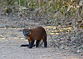 South American Coati (Nasua nasua) male (31667689081).jpg