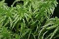 Sphagnum palustre (a, 150136-481739) 8887.JPG