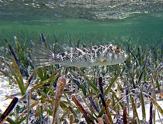 Checkered puffer species of fish
