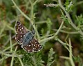 Spialia orbifer hilaris 1.jpg