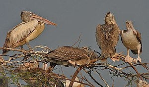 Spot-billed pelican - Adult and immatures at nest