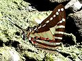 Spot swordtail.jpg