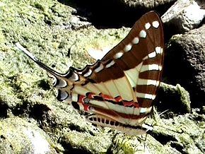 alt=Description de l'image Spot swordtail.jpg.
