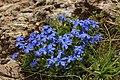 Spring Gentian - Gentiana verna (44235873002).jpg
