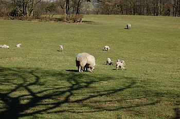 English: Spring Lambs Signs of Spring in the f...