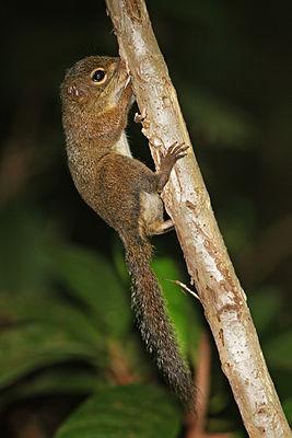 Sunda Squirrel (Sundasciurus tenuis) in Singapore