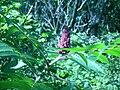 Staghorn sumac (Whitefish Island) 4.JPG
