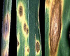 Stagonospora nodorum.png