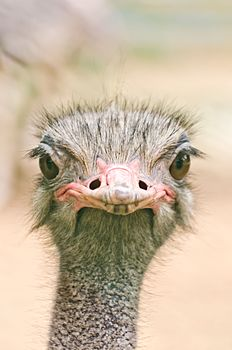 Stare from Ostrich.jpg