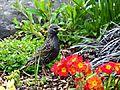 Starling among flowers Cradlehall.jpg