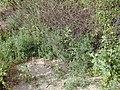 Starr-020116-0038-Bassia hyssopifolia-habit-Kanaha Beach-Maui (24463499021).jpg