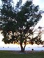 Starr-031108-0318-Casuarina equisetifolia-sunset habit-Siesta Key Beach-Florida (24648602876).jpg