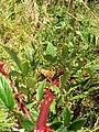 Starr-050817-3854-Rubus niveus-form b habit-Keahuaiwi Gulch-Maui (24506759570).jpg