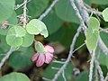 Starr-061106-1419-Abutilon menziesii-flower and leaves-Maui Nui Botanical Garden-Maui (24774898591).jpg