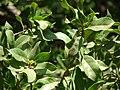Starr-070404-6632-Conocarpus erectus-leaves-Keomoku Beach-Lanai (24887001745).jpg