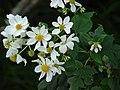 Starr-081230-0655-Montanoa hibiscifolia-flowers-Upper Kaulana-Kahoolawe (24809265272).jpg