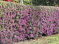 Starr-090426-6335-Bougainvillea sp-hedge habit-Kula 200-Maui (24584895709).jpg