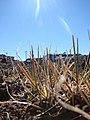 Starr-090504-7153-Poa pratensis-habit-Science City-Maui (24927727016).jpg