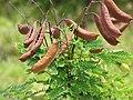Starr-090617-0996-Caesalpinia decapetala-leaves and seedpods-Kakipi Gulch-Maui (24847331952).jpg