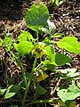 Starr-110822-8264-Physalis philadelphica-flowers and leaves-Hawea Pl Olinda-Maui (24807810990).jpg