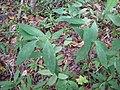 Starr-120425-4773-Syzygium cumini-leaves-Waikapu Valley-Maui (25139671505).jpg