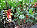 Starr-120522-6111-Heliconia rostrata-flowering habit-Iao Tropical Gardens of Maui-Maui (25024919862).jpg