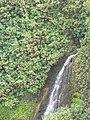 Starr-130312-2374-Hibiscus tiliaceus-habitat and waterfall-Pali o Waipio Huelo-Maui (25114000561).jpg
