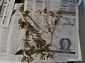 Starr-140621-0695-Unknown asteraceae-voucher-Kohala-Hawaii (24947628510).jpg