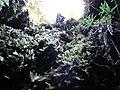 Starr-170304-7204-Pteris cretica-with moss on wall of lava channel-Lower Waiohuli Trail Polipoli-Maui (33342486926).jpg