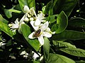 Starr-170923-0256-Citrus sinensis-Cara Cara Navel flowers with honey bee foraging-Hawea Pl Olinda-Maui - Flickr - Starr Environmental.jpg