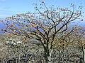Starr 010714-0018 Erythrina sandwicensis.jpg