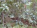 Starr 020501-0059 Cinchona pubescens.jpg