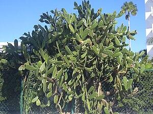 Opuntia - Opuntia cochenillifera