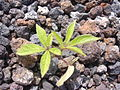 Starr 040117-0031 Merremia aegyptia.jpg