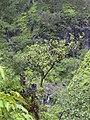 Starr 040713-0053 Antidesma platyphyllum.jpg