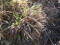 Starr 050815-3325 Pellaea ternifolia.jpg